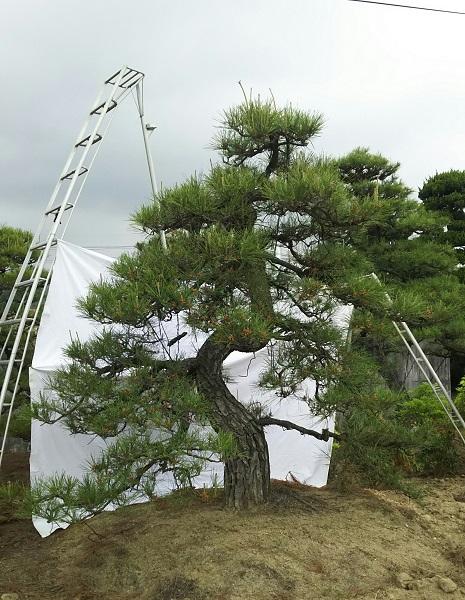 渡辺吉備園/庭木の販売